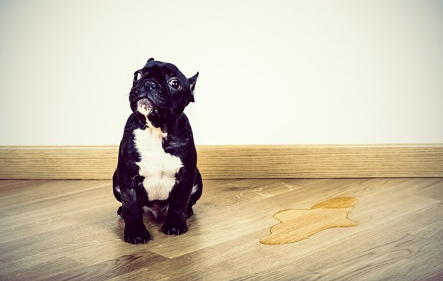 Cat Urine Smell Out Of Hardwood Floors, How To Get Urine Out Of Laminate Flooring